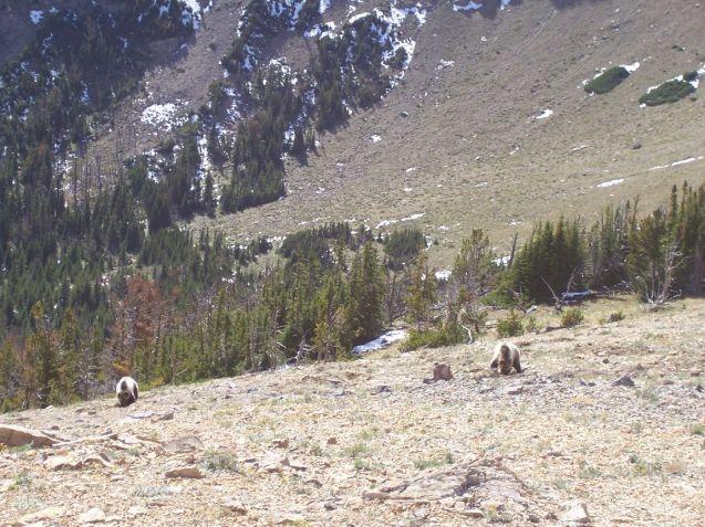 Montana_Grizzly_Bears