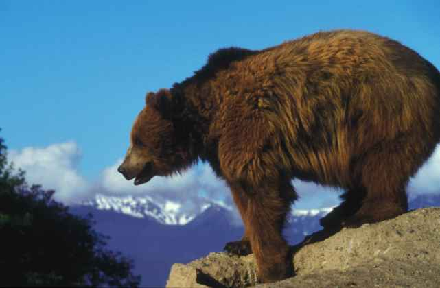 Grizzly_bear_on_a_rock_overlooking
