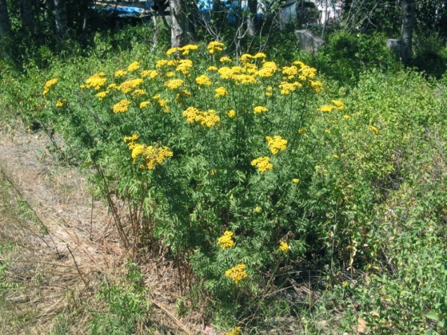CommonTansy12August06McCallID_1 (749 x 562)