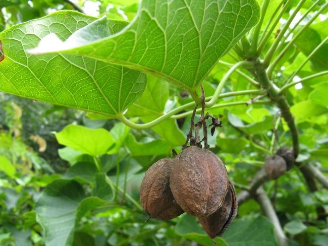 Poison plants_Jatropha curcas (3)