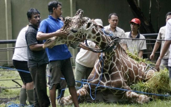 giraffe_2166431k