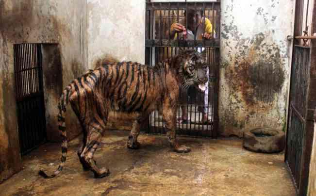 Indonesia Sumatran Tiger