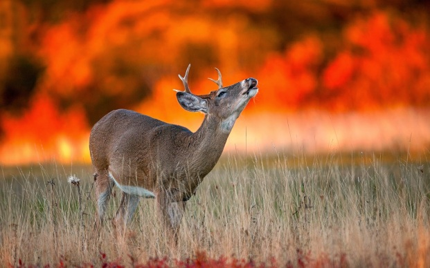 photo-of-a-deer-with-a-wildfire-in-the-background-hd-deer-wallpapers